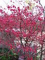 Euonymus alatus f striatus2.jpg