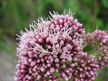 Eupatorium cannabinum bluete.jpeg