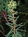 Euphorbia characias 1 .JPG