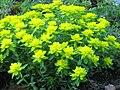 Euphorbia epithymoides MA.jpg