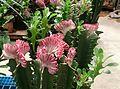 Euphorbia lactea 'Cristata'.jpg