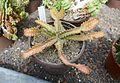 Euphorbia stellata-Jardin des plantes de Nantes.jpg