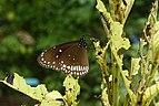 Euploea core 3154.jpg