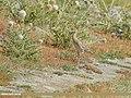 Eurasian Curlew (Numenius arquata) (48959467457).jpg