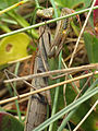 European Mantis (16102767281).jpg