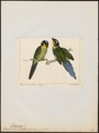 Eurylaimus dalhousiae - 1845-1863 - Print - Iconographia Zoologica - Special Collections University of Amsterdam - UBA01 IZ16700285.tif