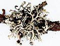 Everniastrum catawbiense-1.jpg