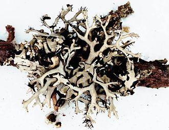 Everniastrum - Everniastrum catawbiense