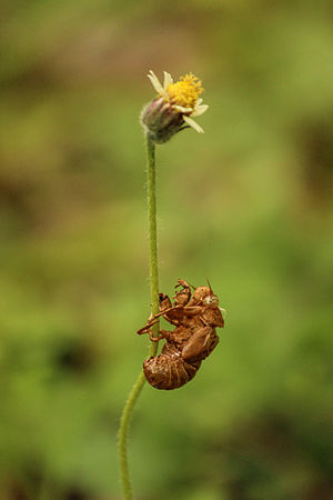 Exoskeleton - Exoskeleton of cicada attached to Tridax procumbens
