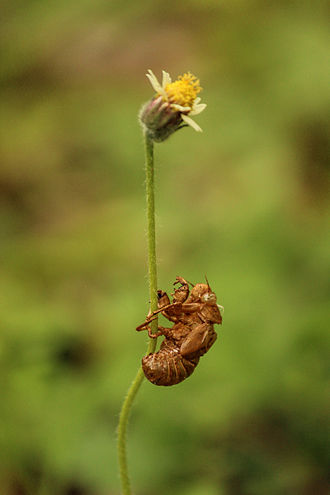Exoskeleton - Exoskeleton of cicada attached to a Tridax procumbens