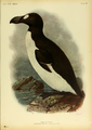 Extinctbirds1907 P38 Alca impennis0367.png