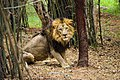 Eye to Eye with the King of Jungle.jpg