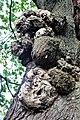 Fagales - Quercus robur - 020.jpg