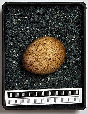 Eurasian hobby - Egg, Collection Museum Wiesbaden, Germany