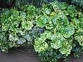 Farfugium japonicum - JBM.jpg