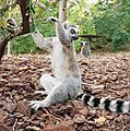 Faunia - Lemur catta.jpg