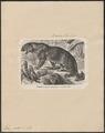 Felis pardus - 1700-1880 - Print - Iconographia Zoologica - Special Collections University of Amsterdam - UBA01 IZ22100220.tif