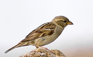 Samička vrabca