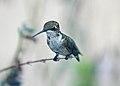 Female Ruby Throated Hummingbird (2826297778).jpg