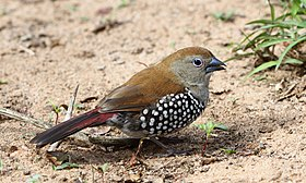 Female pink-throated twinspot 2014 10 19 0324.jpg