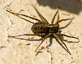 Female uk wolf spider.jpg