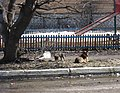 Feral dogs in Moscow, April 2012.jpg