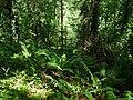 Ferns in the dappled shade of Moor Wood - geograph.org.uk - 1719559.jpg