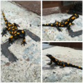 FeuerSalamander.png