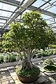 Ficus benjamina 9zz.jpg