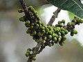 Ficus virens Manamboli power house DSCN0221.JPG