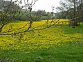 Field of dandelions - geograph.org.uk - 243252.jpg