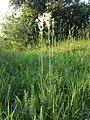 Filipendula vulgaris sl12.jpg
