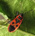 Fire Bug (15980236995).jpg