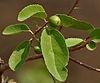 Flacourtia indica fruit in Hyderabad W IMG 7482.jpg