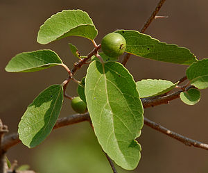 Flacourtia indica fruit in Hyderabad W IMG 7482.jpg