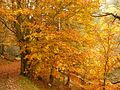 Flaming beech in a forest in Alsace.jpg