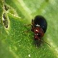 Flea Beetle - Flickr - treegrow (3).jpg