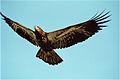 Fledging Bald Eagle edit1.jpg