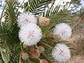 Flickr - João de Deus Medeiros - Mimosa regina (1).jpg