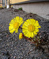 Flickr - Per Ola Wiberg ~ mostly away - Tussilago ~ springflowers.jpg