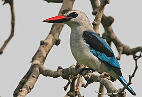 Flickr - Rainbirder - Woodland Kingfisher (Halcyon senegalensis).jpg