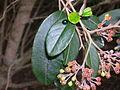 Flickr - brewbooks - Pomaderris hamiltonii (kumarahou).jpg