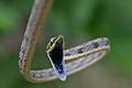 Flickr - ggallice - Brown vine snake.jpg