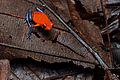 Flickr - ggallice - Strawberry dart frog (4).jpg