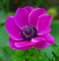 Flickr - law keven - Anemone.....jpg