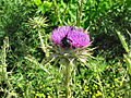 Flickr - ronsaunders47 - Sweet smelling thistle...jpg