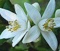 Flor de Laranjeira (361059991).jpg