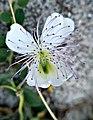 Flor de alcaparronera.jpg