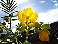 Flor del chocho - panoramio.jpg