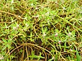 Flora from Madayipara DSCN2611.jpg